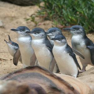 phillipislandpenguins