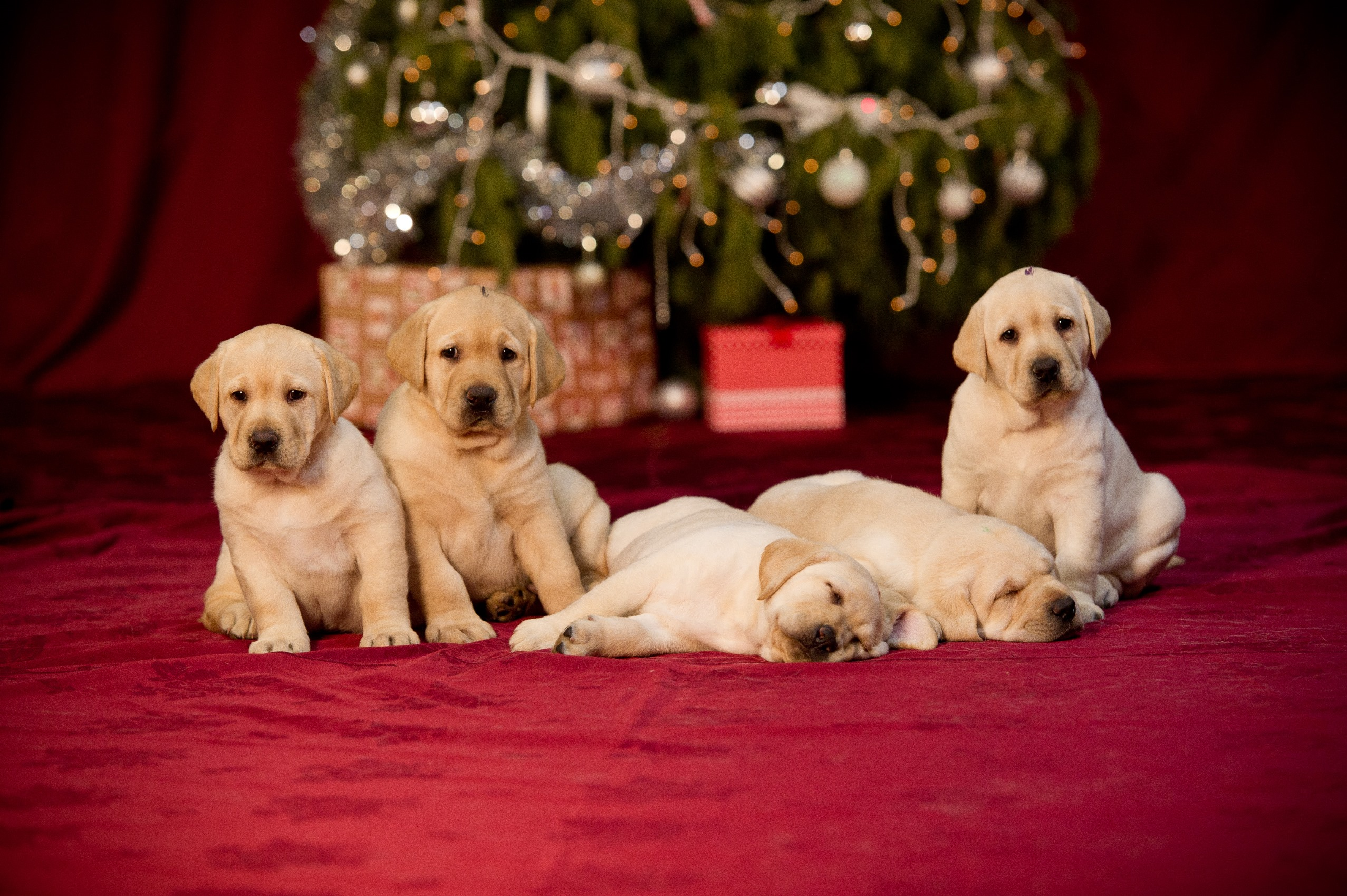 Guide Dogs Victoria Christmas puppies, The Bow Project