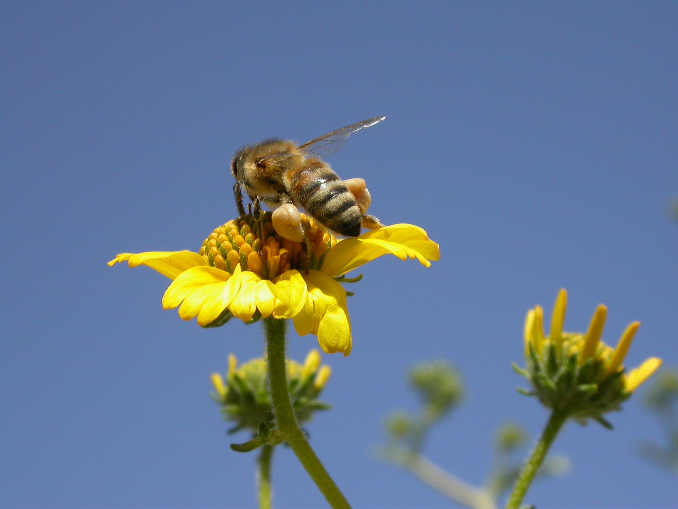 Australian Honeybees