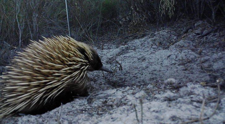 Wildlife Experts Find Hope Amongst The Ashes On Kangaroo Island